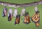 butterflies-in-cocoons-emerging